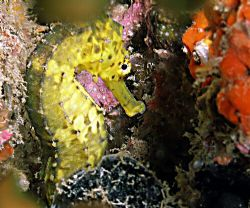 Very shy Tiger tailed sea horse spotted just as we starte... by Rob Spray 